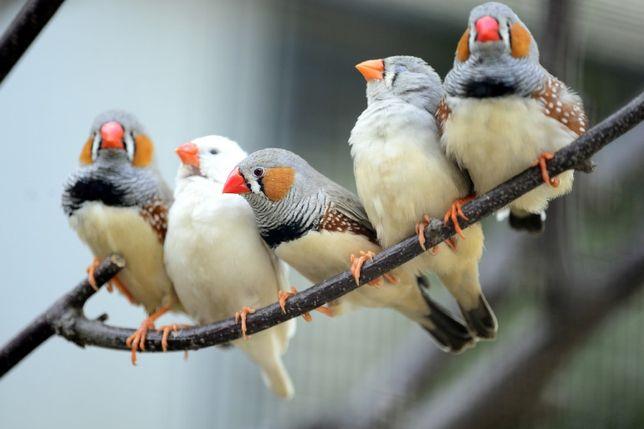 Амадины птички в наличии