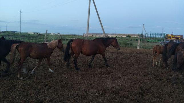 Продам лошадей. коров.