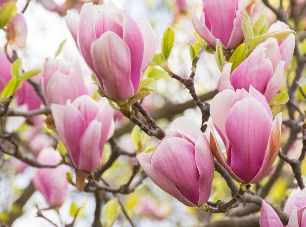 Magnolia. Tuia. Salcie salix