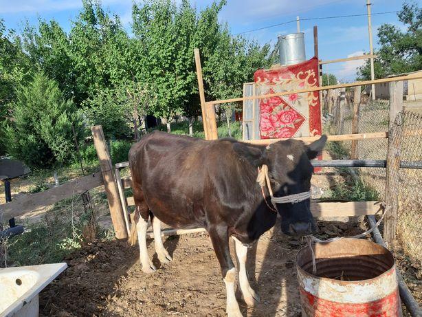 Продаётся корова с теленком.бұзаүлы сиыр