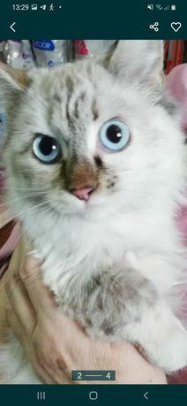 Стерилизованная молодая кошечка.невская-маскарадная.