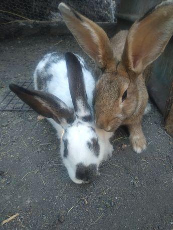 Кролики покрытые точнее беременные