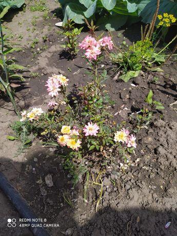 Продам розы в начале сентября мелколистные