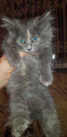 Дарю котят сибирской породы