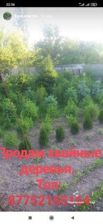 Продам хвойные деревья.