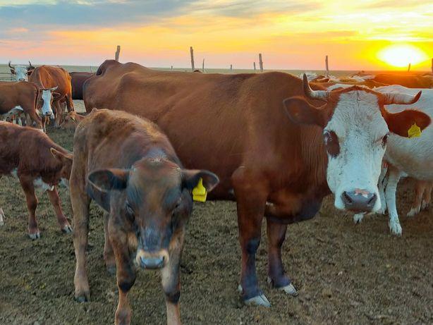 Продам корову с теленком подсосный.
