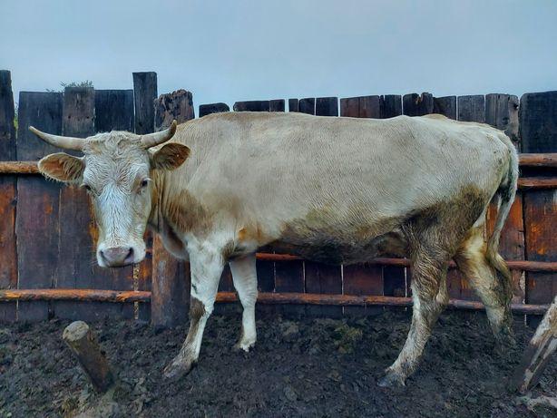 Продам 4х дойных коров.