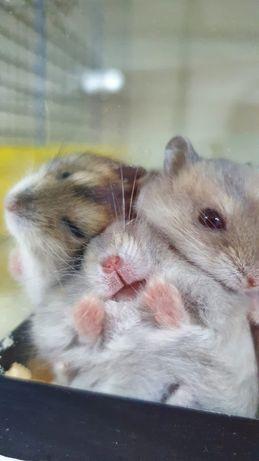 Хомячки которые не пахнут в подарок при покупке клетки