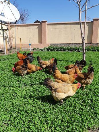 Яйца жумыртка кучинские