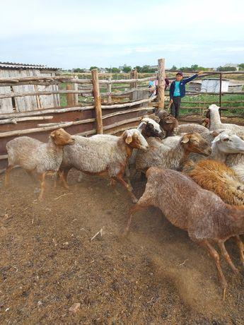 Продам баранов,овцематки,токтушки,кошкарчики.
