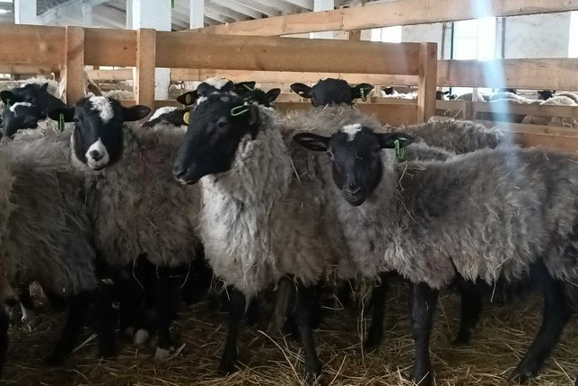 Бараны овцы ягнята Чистокровные племенные гиссарские едильбай ромиггвс