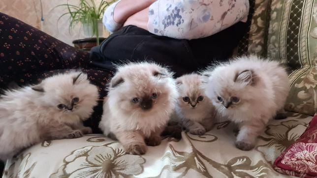 Породистые котята 2 мес
