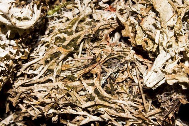 Ceai Licheni De Piatra