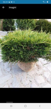 Vand plante ornamentale tuia smarand tei plop rulou de gazon asigur tr
