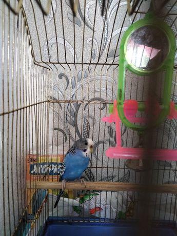 Продам папугайчик