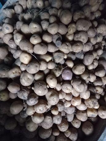Картофель на корм скоту
