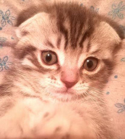 Вислоухий  чистокровный котенок 2месяца
