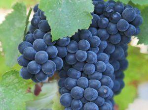 Vând struguri de vin diferite soiuri asigur Taransport oriunden  țară
