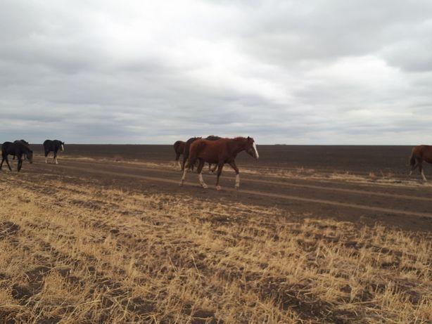 Сельхозживотные, лошадь