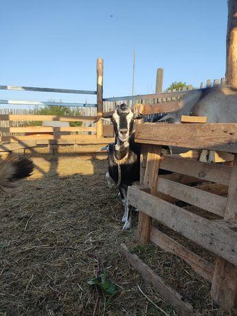 Продам козу и козлика