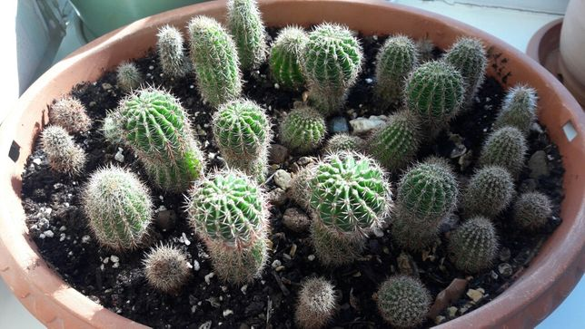 Кактусы и кактусята