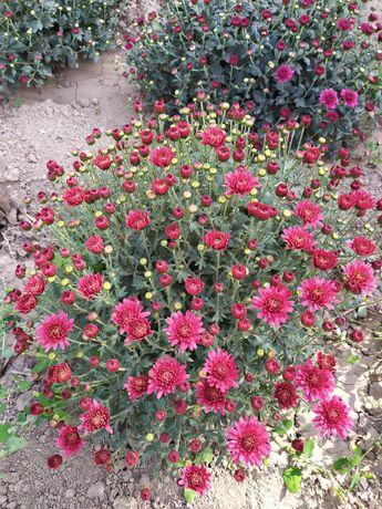 Хризантемы осенние цветы