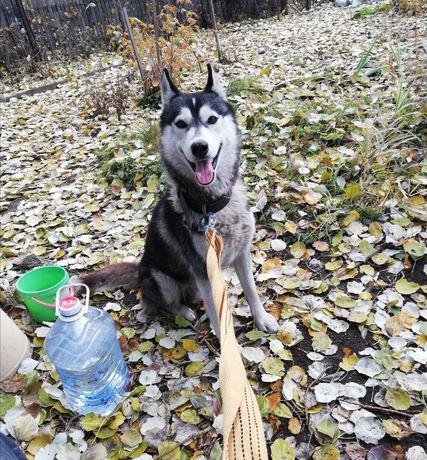 Найден Сибирский Хаски