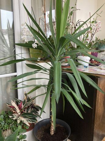 Vand ficus si palmier