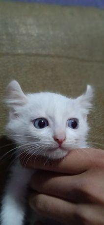 Котёнок породы американский Кёрл