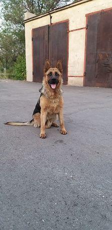 Годовалый пес породы немецкая овчарка