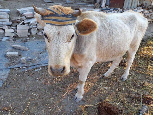 Коровы  белая за 300000 тенге черныи за 250000 тенге пародные