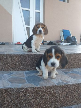 Beagle 8 saptamani
