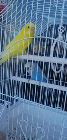 Papagali Perusi semistandard