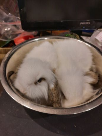 Декоративные кролики. Белые в вислоушки