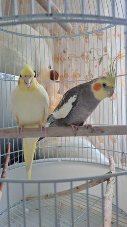 Попугаи Корелла (м+ж)