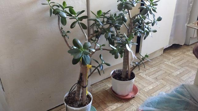 Кактус,молочайи денежное дерево (Толстянка). Роза (гибискус) красная