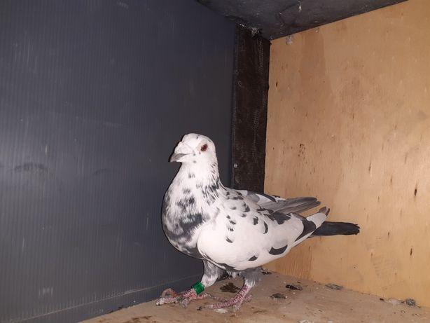 Porumbei pestriți pe negru