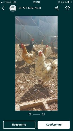 продаю домашних кур несутся
