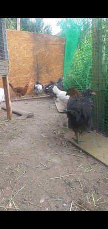 Цыплята , куры, яица домашние