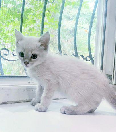 Чудесные полупородистые голубоглазые чистоплотные котята с доставкой