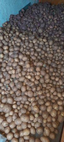 Картофель дачный