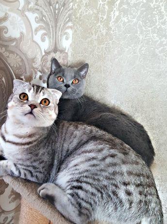Вислоухий кот для вязки