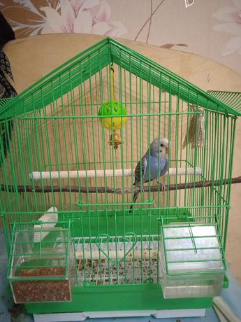 Волнистый попугай волнистый самец синий