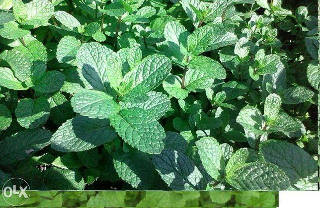 Plante medicinale 3 motive de a cultiva menta olandeza