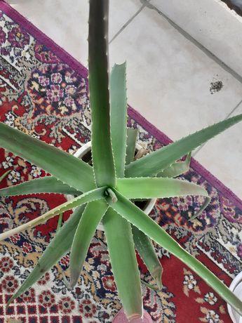 Алоэ растения