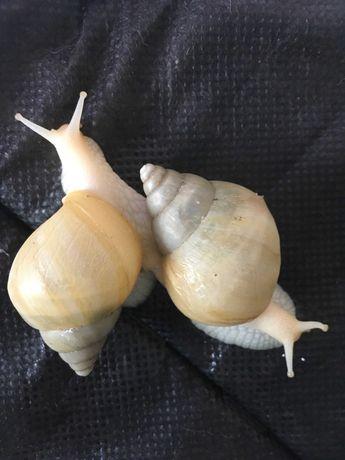 Продам улиток ахатина родация альбино с контейнером, матиком, мхом!