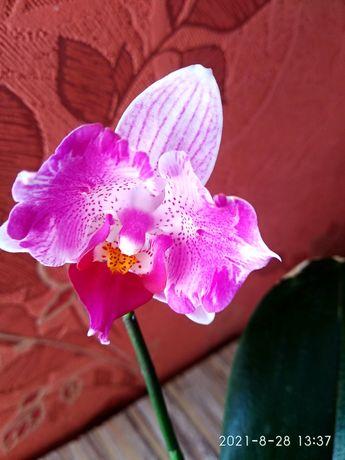 Продам азиатскую орхидею-бабочку