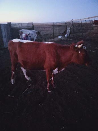Корова кунажын сатам