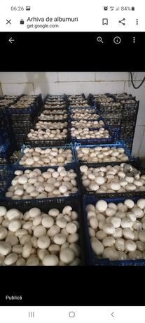 Ciuperci Champinion