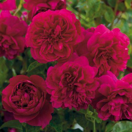 Trandafiri Englezesti de colectie